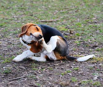 itchy-dog-scratching-istock-000037172218-medium-335lc033116jpg