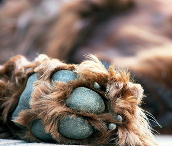 closeup-of-dog-paws-thinkstockphotos-481995254-335