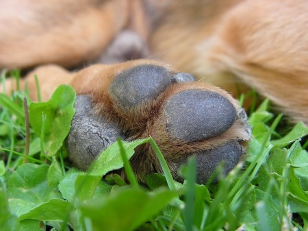 dog-paw-close