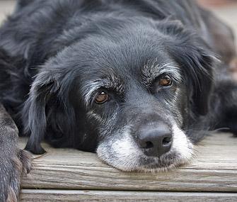 senior-dog-335mk072011