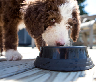 puppy-eating-from-dog-food-bowl-iStock_000025567462-335lc031014