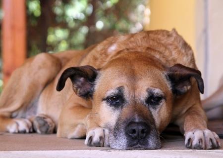 senior-dog-thinkstockphotos-510172654-590sm3116