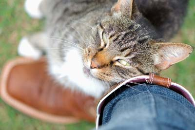 tabby-cat-nuzzling-against-humans-leg_284916 (1)