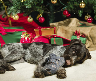 Dog-chewing-shoe-under-xmas-tree-Thinkstock-453769291-335lc121913