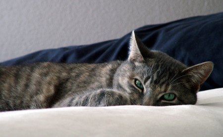 striped-gray-cat-on-bed